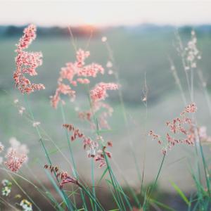 Natur, eng med lyserøde strå